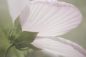 Hibiscus sm