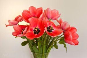 1. Pink Tulip Bouquet 12x18 john Christer Petersen