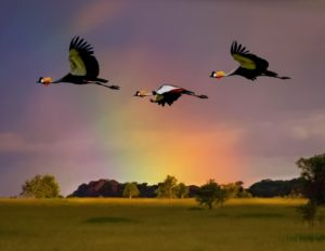 thumbnail_Crowned Cranes in Flight
