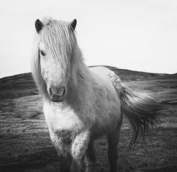 Iceland Horse I