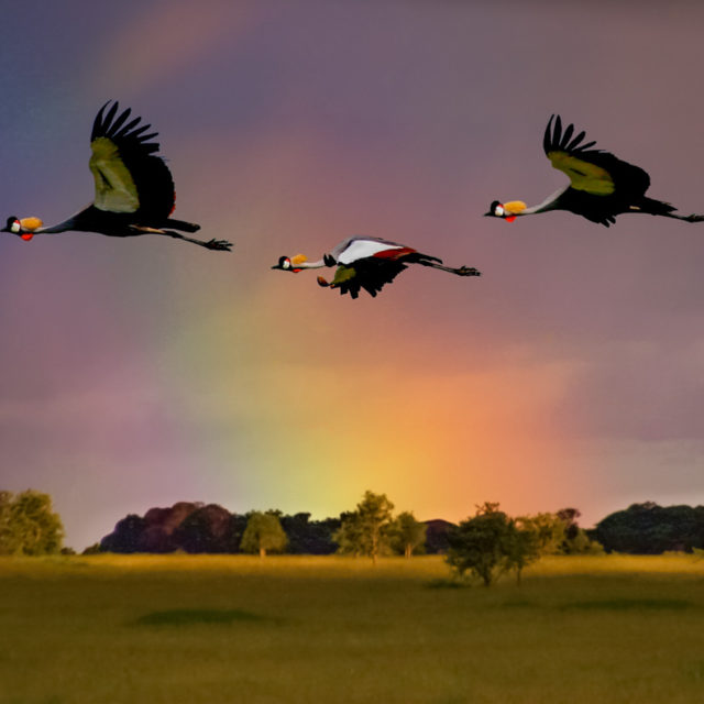 Crowned Cranes in Flight