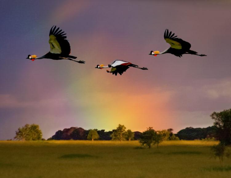Crowned Cranes in Flight