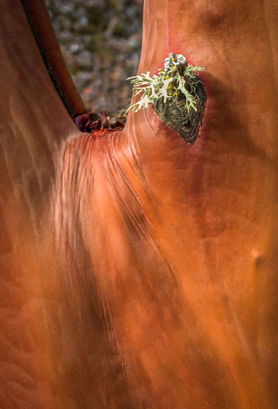 Madrone Tree Detail